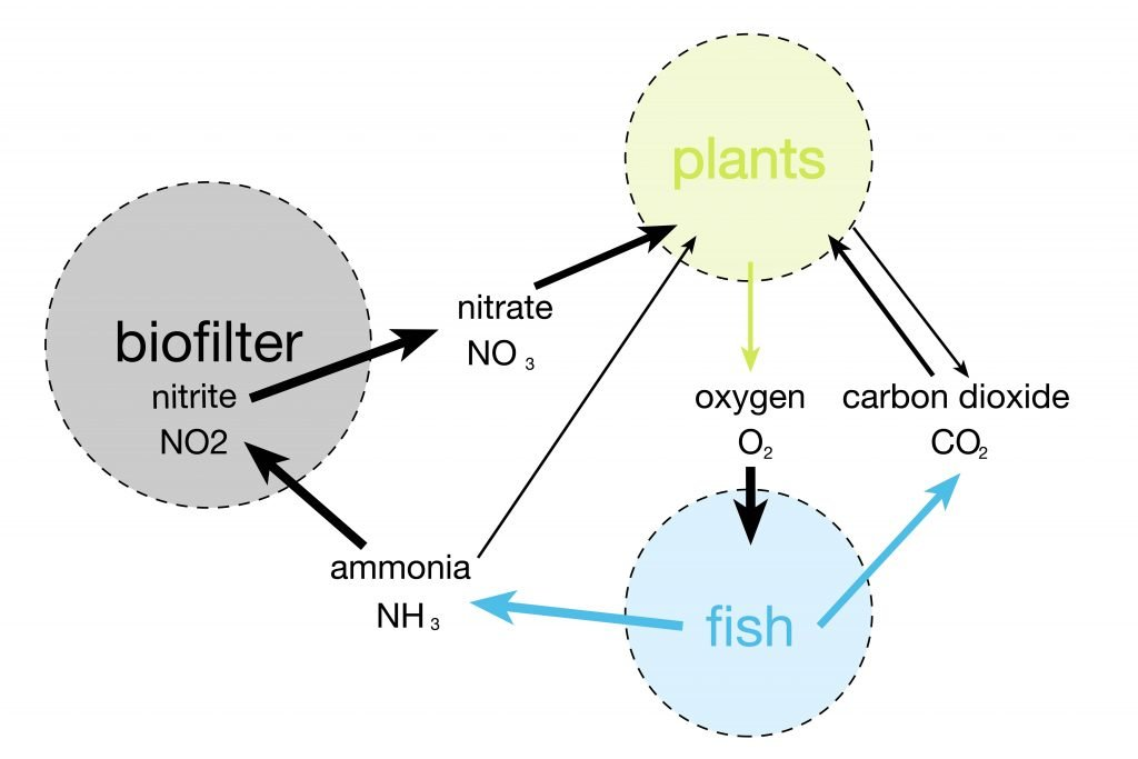 nitrification, Nitrification – essential processes for successful aquaponics.