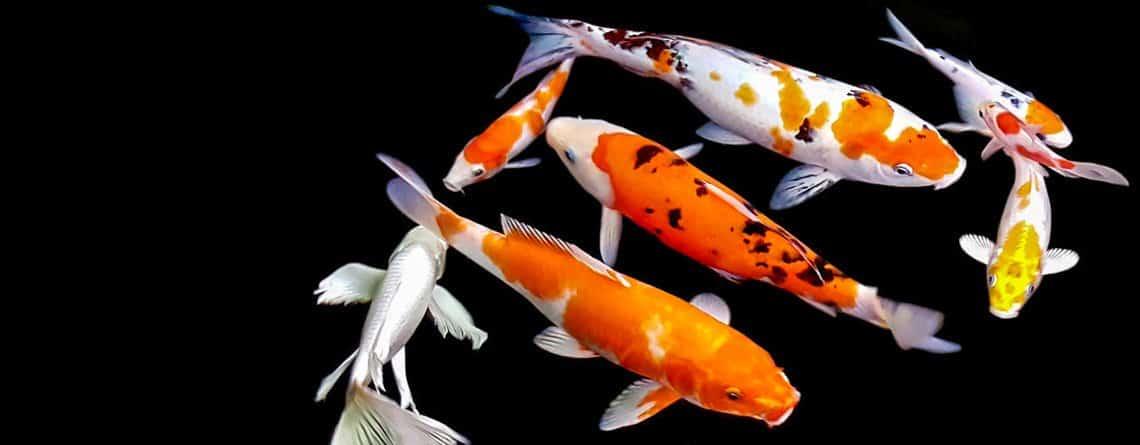 carp aquaponics, Carp aquaponics