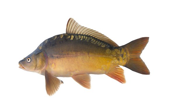 carp make an excellent choice of fish for large aquaponic systems