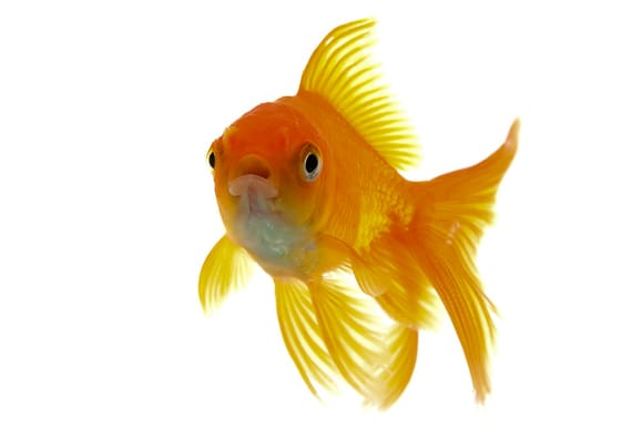 goldfish aquaponics, Goldfish Aquaponics