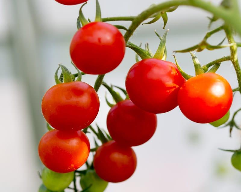 tomato grown in aquaponics