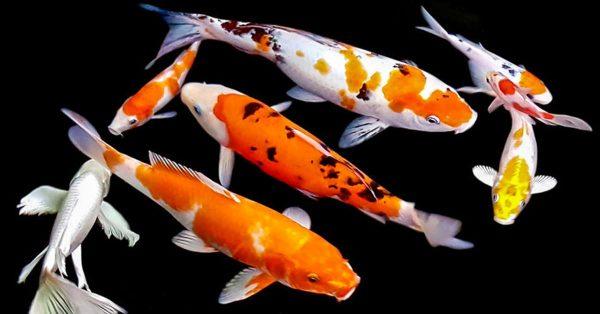 koi aquaponics