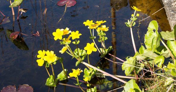 marsh marigold - popular marginal plant for wildlife ponds